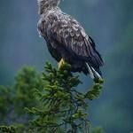 Sea Eagle rain-1-2