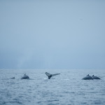 Family group of humpbacks