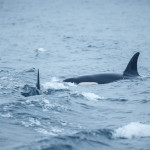 Killer whales surfing the waves
