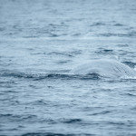 Scarred humpback