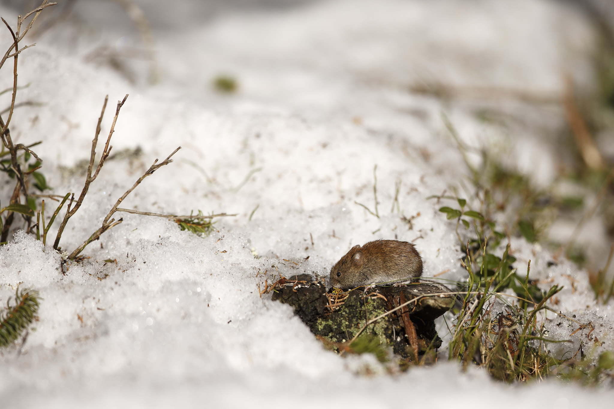 Canon 1dx, 300 f/2.8 is II @f/2.8. ISO 100. Forest vole