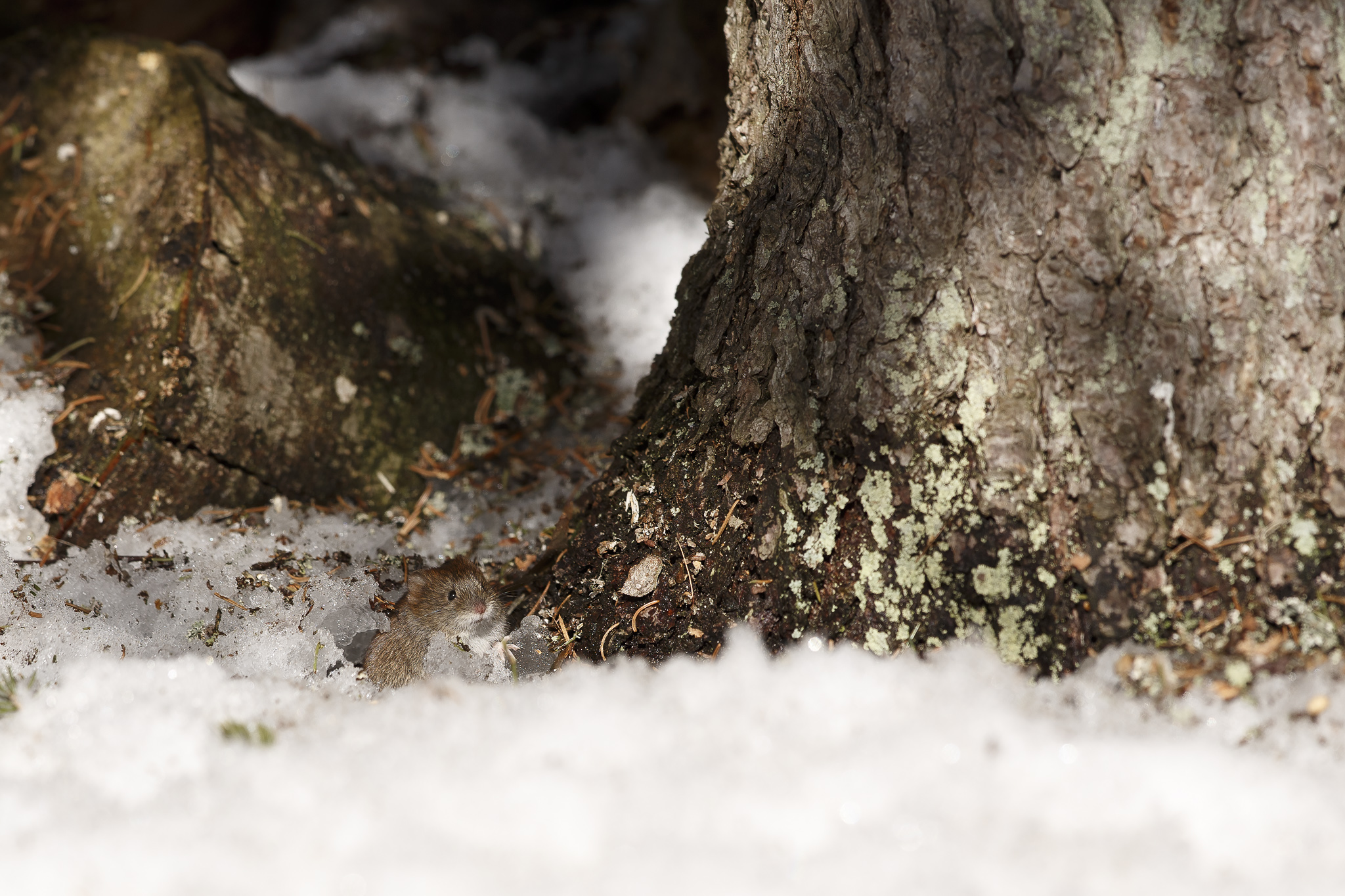 Canon 1dx, 300 f/2.8 is II @f/4. ISO 100. Forest vole