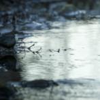 White throated dipper
